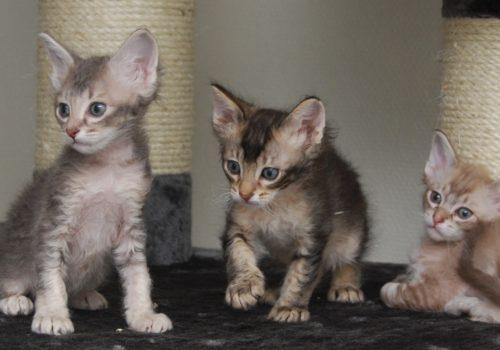 LaPerm kattungar