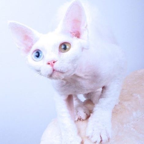 Devon Rex, vit oddeyed