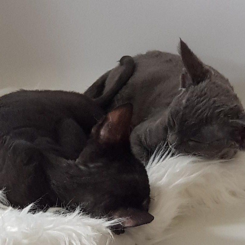 Dvon Rex kattungar