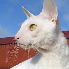 Cornish Rex, vit gula ögon